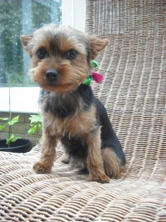 Yorkie on Wicker seat