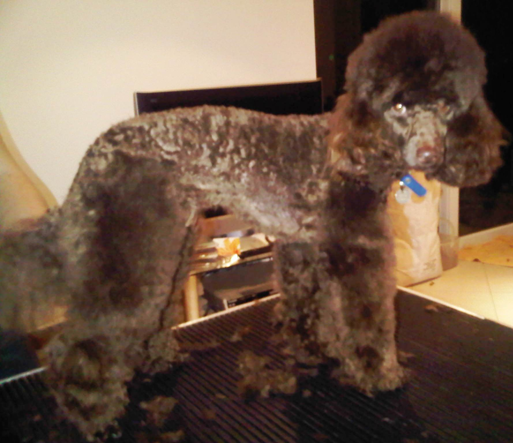 brown min poodle